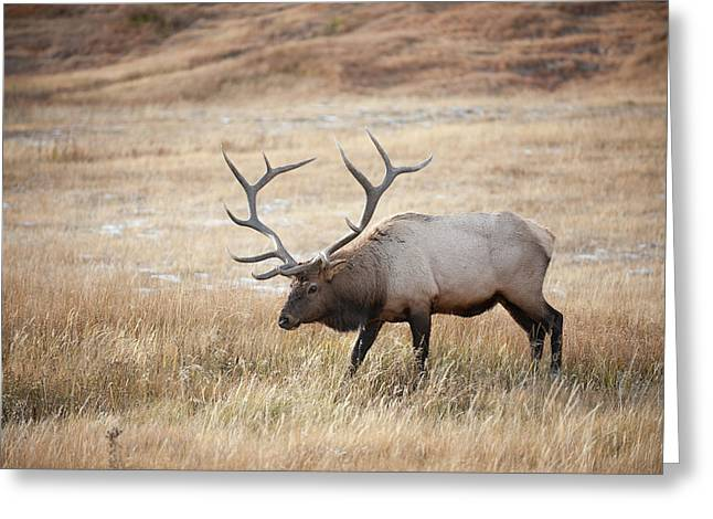 Elk In Yellowstone National Park Greeting Card