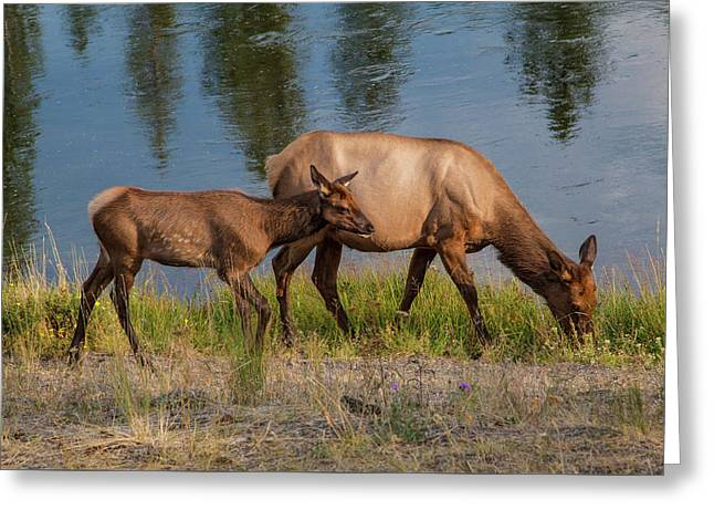 Greeting Card featuring the photograph  Elks Grazing On The Madison River, Wy by Lon Dittrick