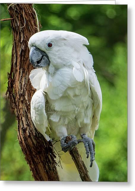 Endangered White Cockatoo Greeting Card
