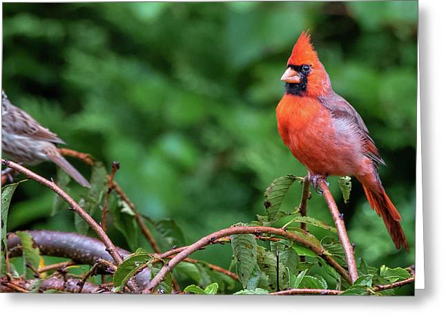 Envy - Northern Cardinal Regal Greeting Card