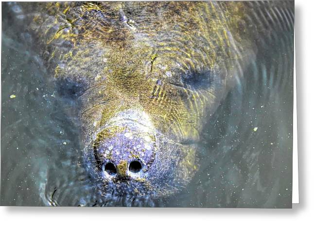 Face Of The Manatee Greeting Card