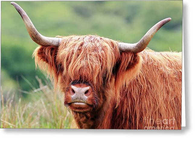 Face-to-face With A Highland Cow Greeting Card
