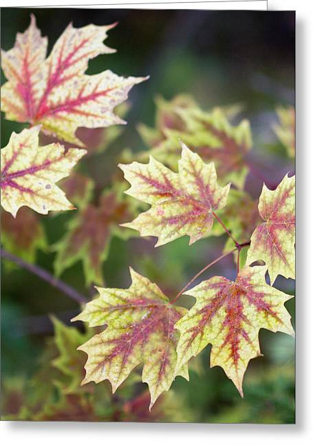 Fall Red And Yellow Leaves 10081501 Greeting Card