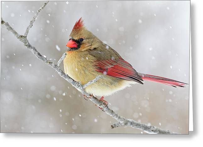 Female Northern Cardinal In Snow Greeting Card by Adam Jones