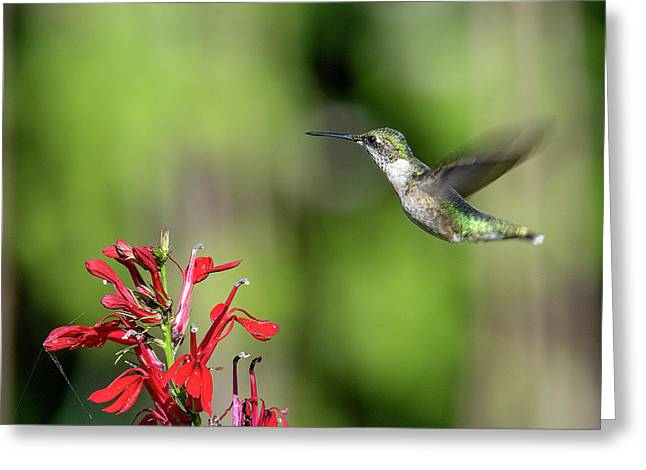 Female Ruby-throated Hummingbird Dsb0320 Greeting Card