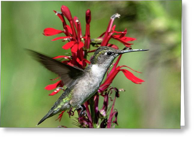 Female Ruby-throated Hummingbird Dsb0325 Greeting Card