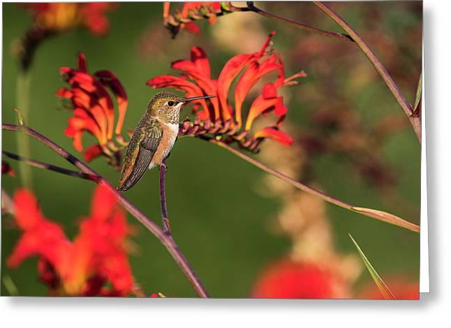 Female Rufous Hummingbird At Rest Greeting Card