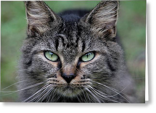 Feral Cat Greeting Card