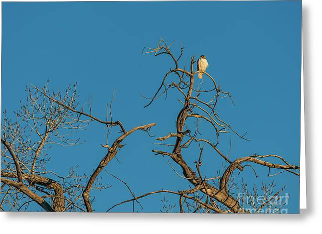 Greeting Card featuring the photograph Ferrunginous Hawk In Tree by Jon Burch Photography