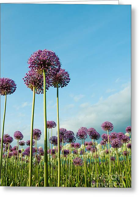 Field Of Purple Alliums Reaching Into Greeting Card
