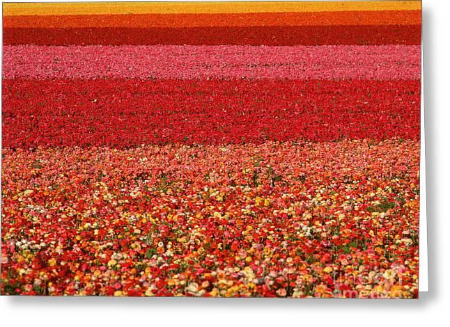 Field Of Ranunculus Flowers At Carlsbad Greeting Card