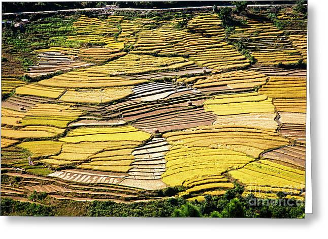 Fields Of Rice Greeting Card