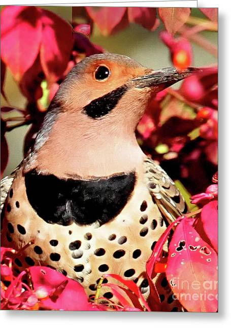 Yellow-shafted Flicker Greeting Card