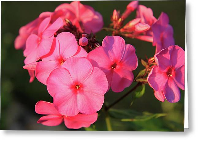 Flaming Pink Phlox Greeting Card