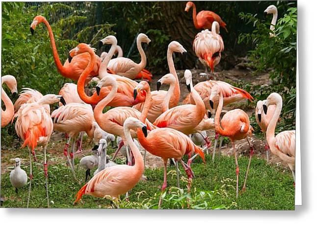 Flamingos Outdoors Greeting Card