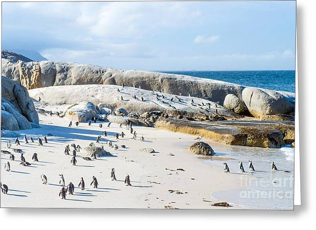 Flock Of Small African Penguins At Greeting Card