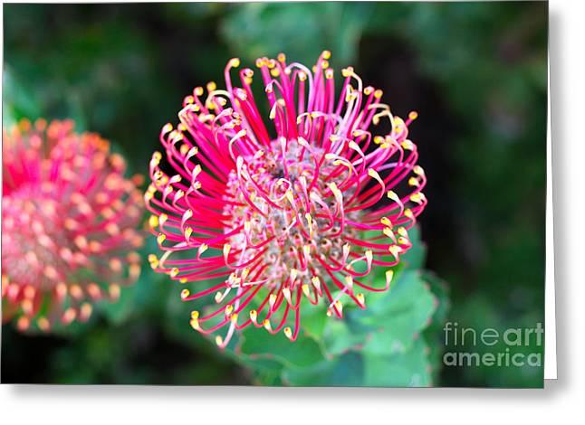 Flowerhead Of A Hakea - Australian Greeting Card