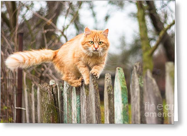 Fluffy Ginger Tabby Cat Walking On Old Greeting Card