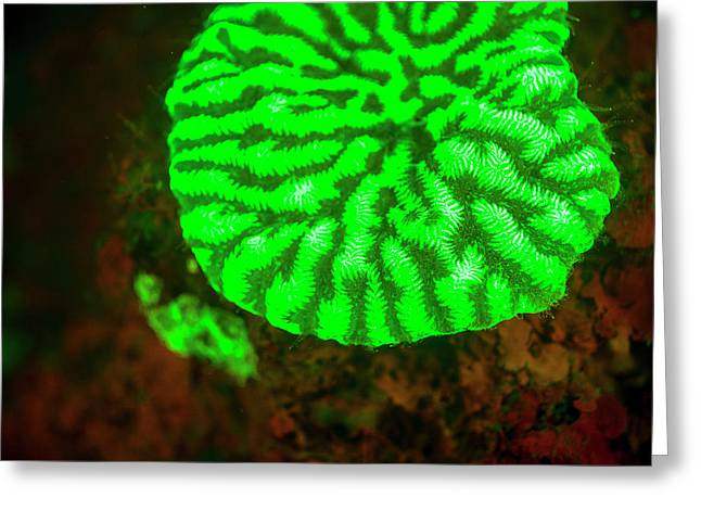 Fluorescence Emitted In Corals Greeting Card by Stuart Westmorland