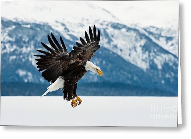 Flying Bald Eagle  Haliaeetus Greeting Card