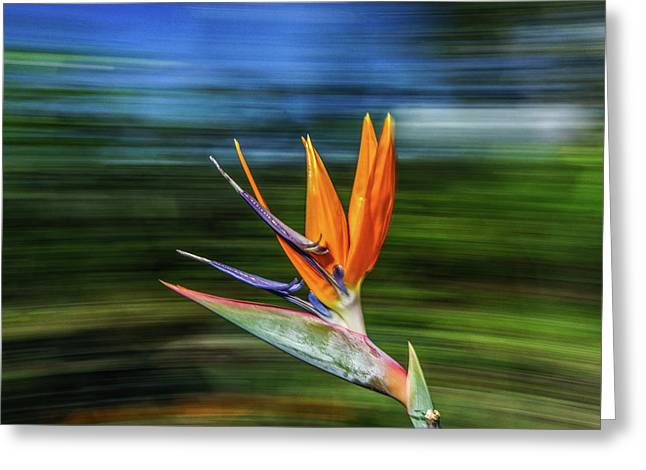 Flying Bird Of Paradise Greeting Card