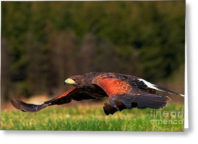 Flying Bird Of Prey, Harris Hawk Greeting Card