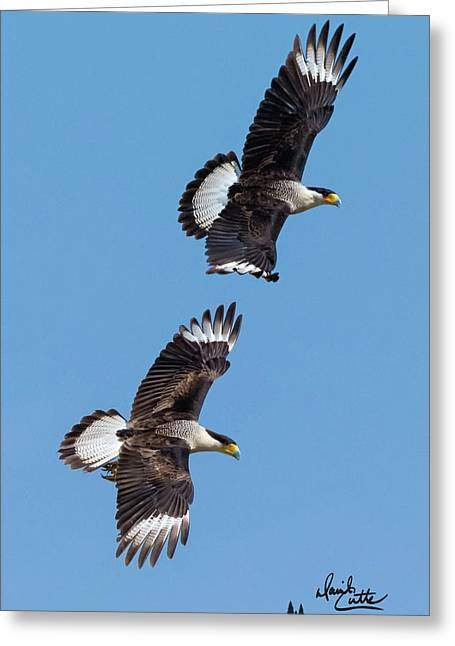 Flying Caracaras Greeting Card