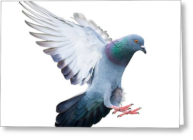 Flying Pigeon Bird In Action Isolated Greeting Card