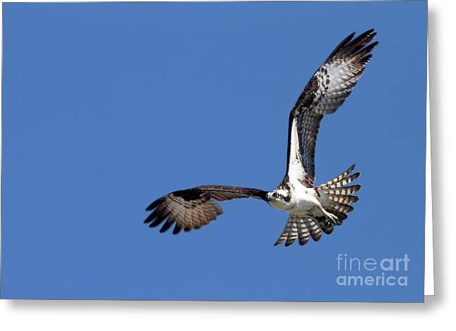 Focused Osprey Greeting Card