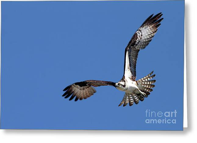 Focused Osprey Greeting Card