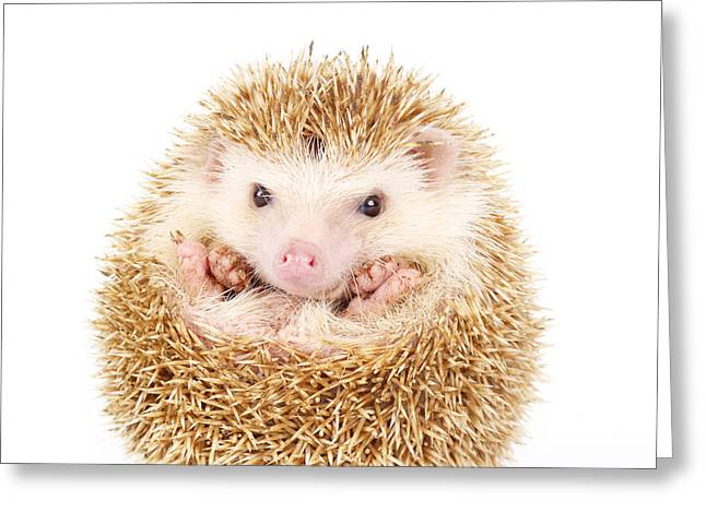 Four-toed Hedgehog, Atelerix Greeting Card