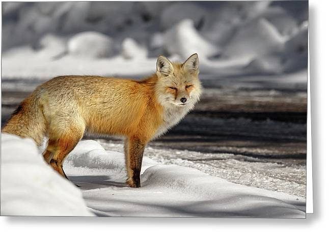 Greeting Card featuring the photograph Fox Close Up by Ronnie and Frances Howard