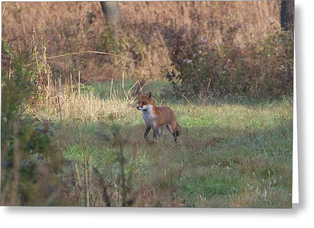 Fox On Prowl Greeting Card