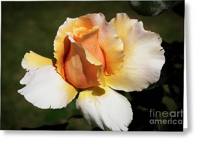 Greeting Card featuring the photograph Fragrant Rose by Fran Woods