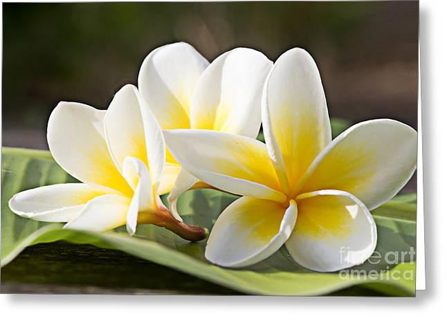 Frangipani Tropical Flowers, Plumeria Greeting Card
