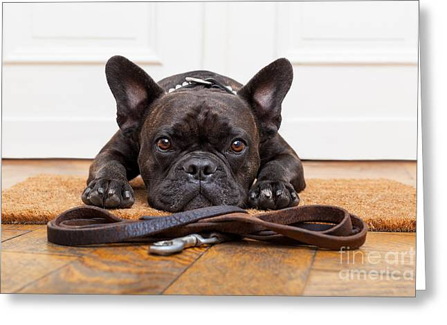 French Bulldog Dog Waiting And Begging Greeting Card
