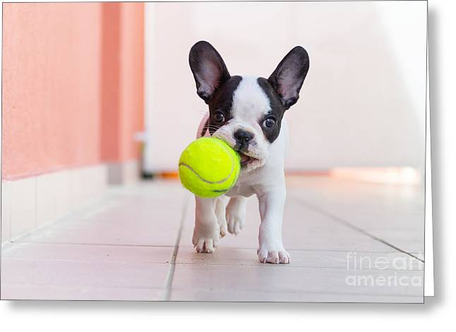 French Bulldog Puppy Playing With His Greeting Card