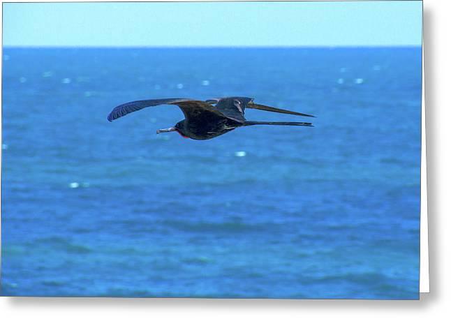 Frigatebird Greeting Card
