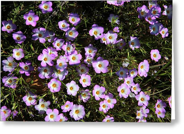 Fringed Linanthus Greeting Card by Robin Street-Morris