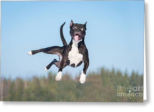 Funny American Staffordshire Terrier Greeting Card