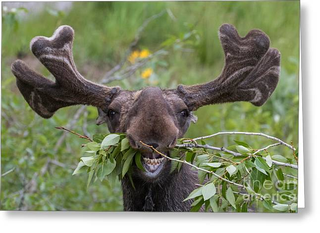 Funny Awkward Moose Eating Branches Greeting Card