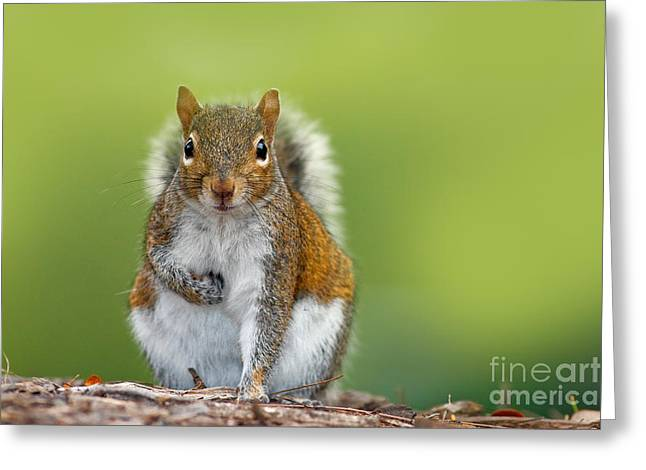 Funny Image From Wild Nature. Gray Greeting Card