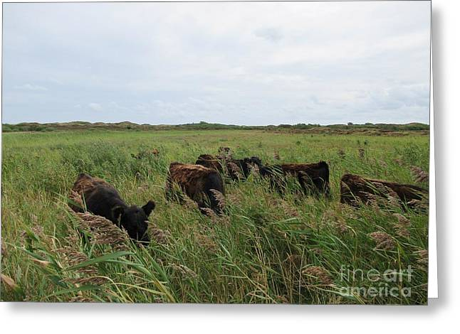 Galloway Cows On Texel North Holland Greeting Card