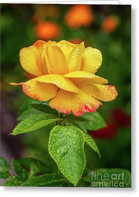 Garden Rose Greeting Card