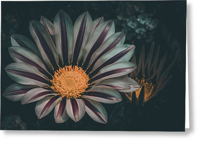 Gazania Gaze Greeting Card