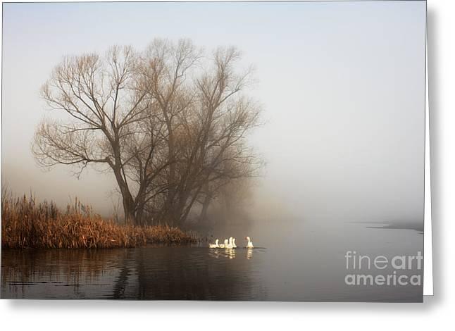 Geese In Fog. Flock Of Birds Swims Near Greeting Card