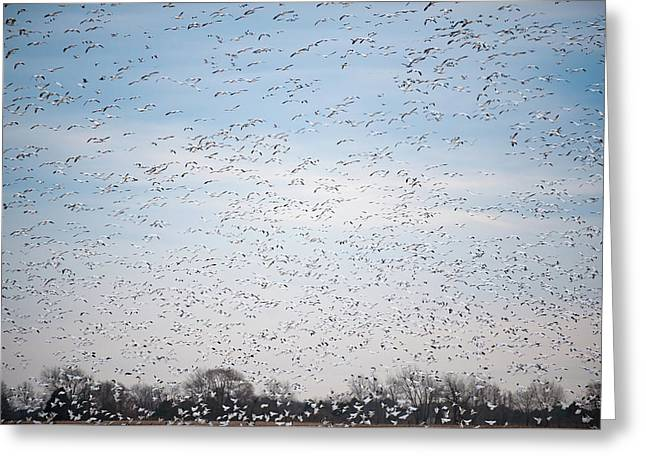 Geese In The Flyway Greeting Card