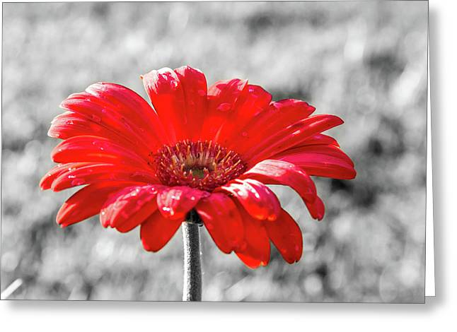 Gerbera Daisy Color Splash Greeting Card
