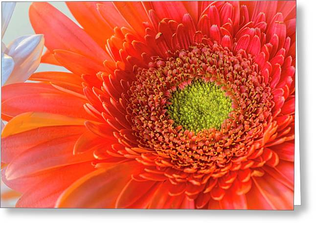 Gerbera Gorgeous  Greeting Card
