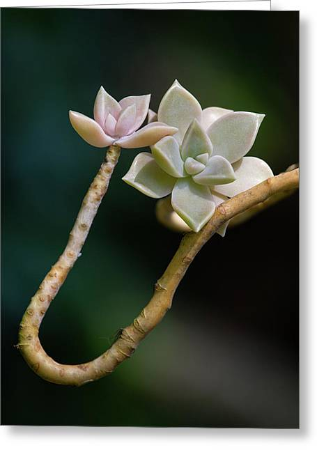 Greeting Card featuring the photograph Ghost Plant Succulent by Dale Kincaid